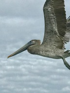 Pelicans and Other Birds of the Indian River Lagoon